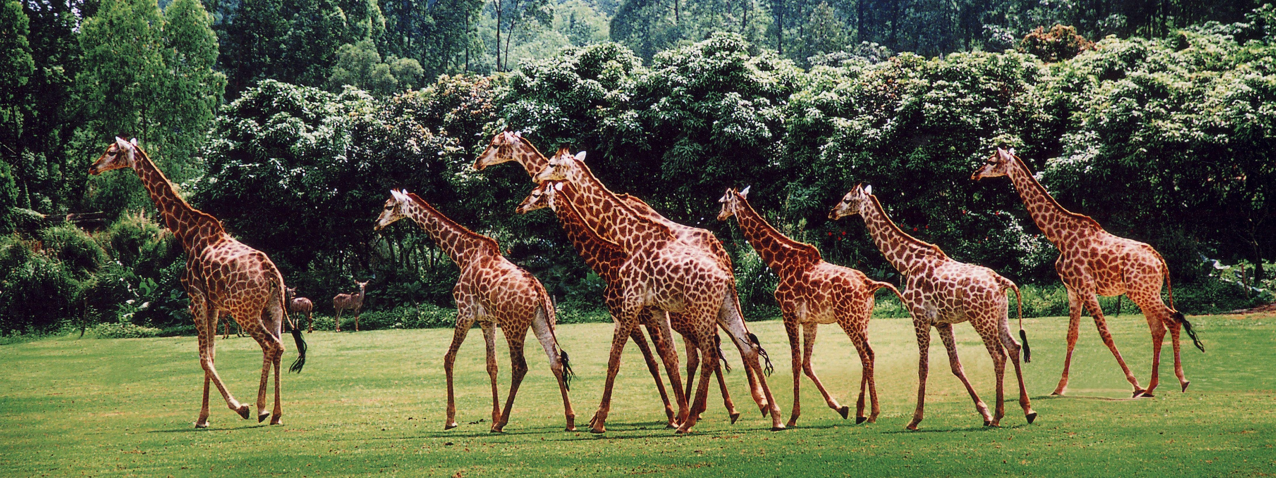 長隆野生動物園長頸鹿廣場
