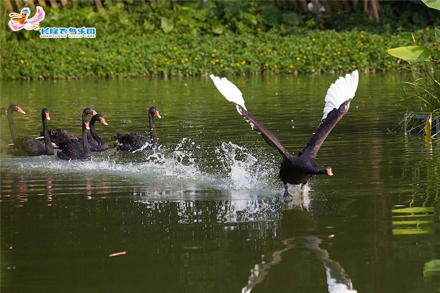 广州长隆飞鸟乐园水禽表演