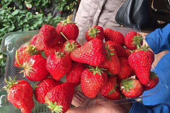 杨城寨生态旅游区草莓采摘基地