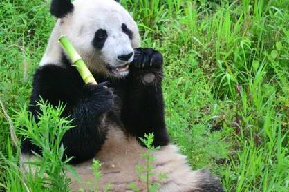 成都熊猫基地-乐山大佛-报国寺巴士1日当地游一站式游览,纯玩团,陆地航空座椅,全景拍摄大佛,观睡佛魅影