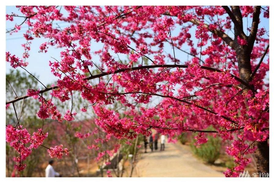 浈江樱花公园