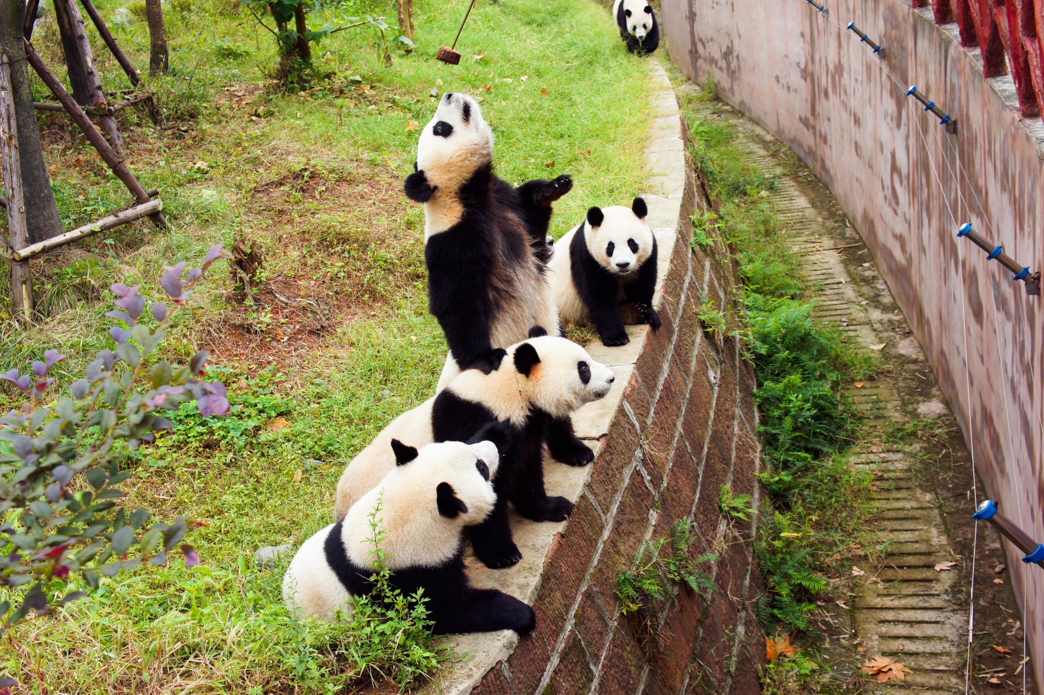 熊猫乐园、都江堰、青城山纯玩巴士1日深度游[VIP专享特制午餐、无限耳麦讲解]成都三环内包接