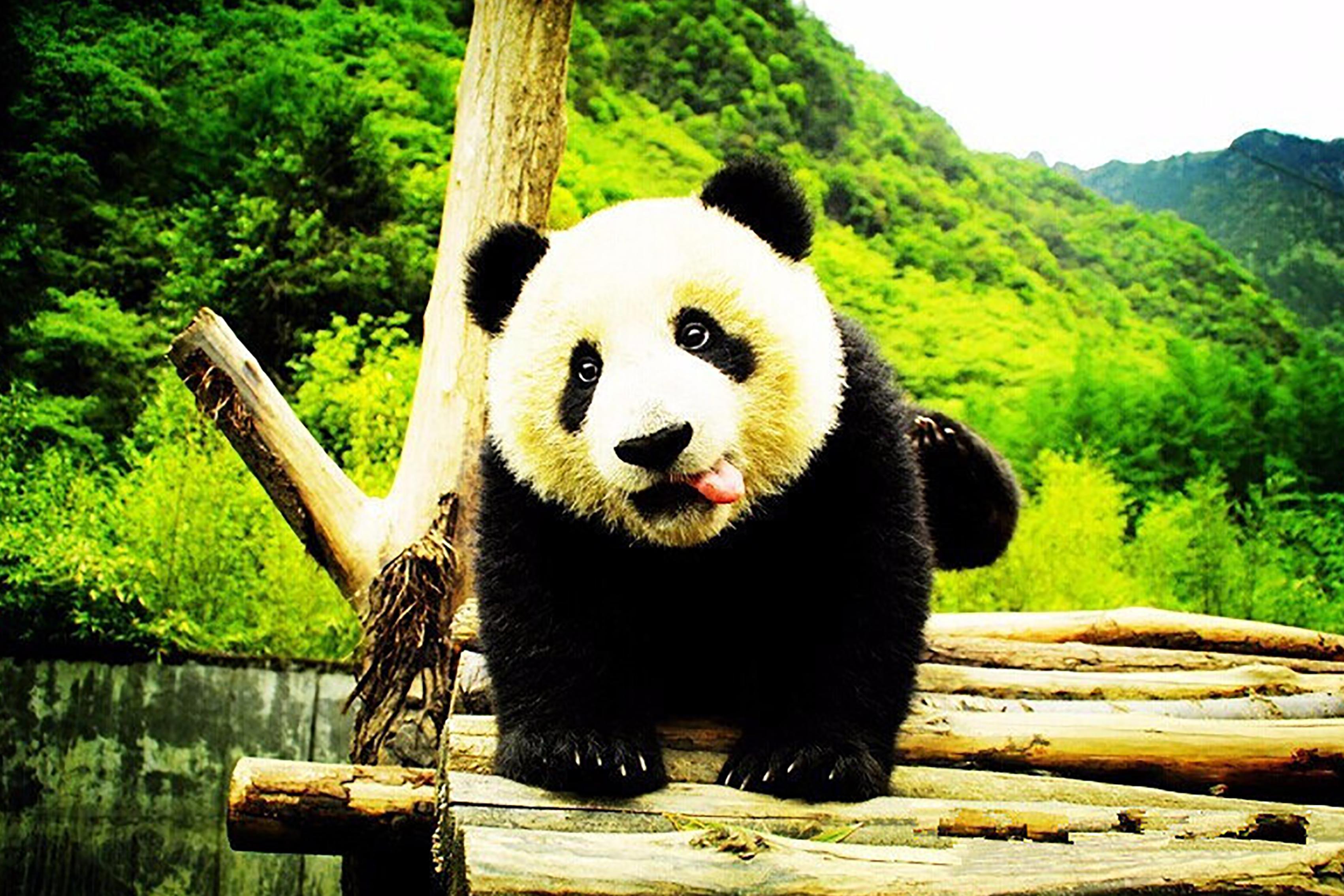 成都大熊猫繁育基地、都江堰景区1日深度游[VIP专享特制午餐、无限耳麦讲解、赠川剧变脸秀、赠矿泉水]赠送每人一只熊猫公仔