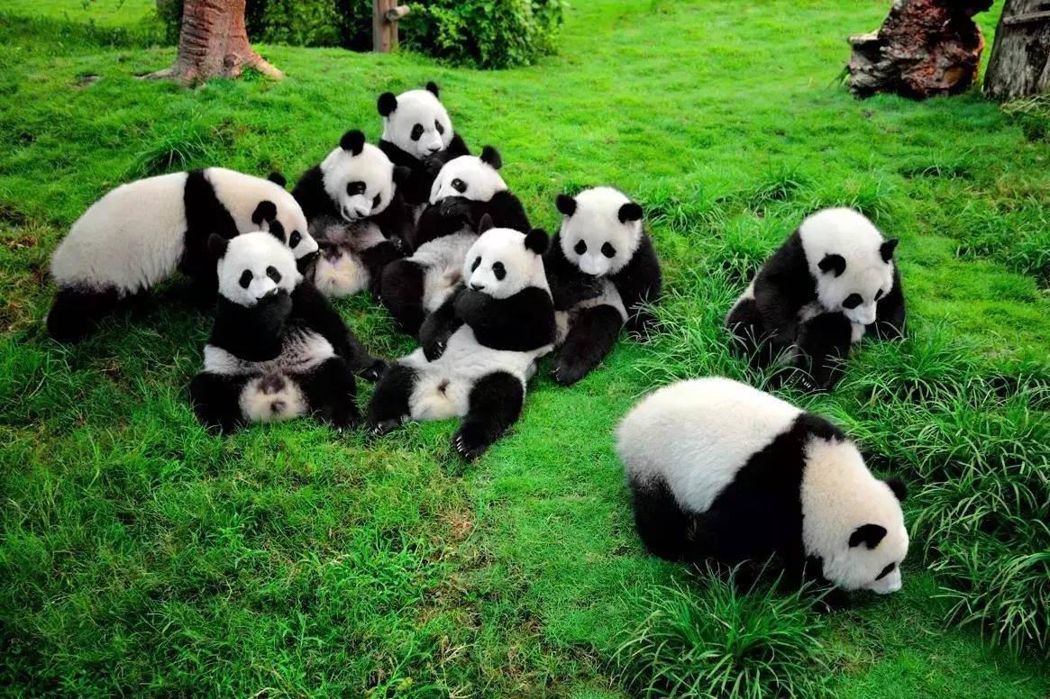 成都大熊猫基地、都江堰巴士1日游[品特色熊猫餐]女生送熊猫发卡