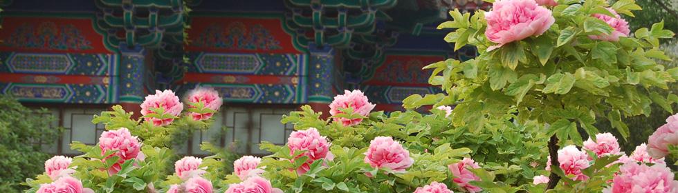 洛阳牡丹什么时候开 唯有牡丹真国色,花开时节动京城