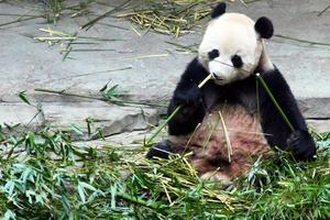 周末小憩,泡温泉游竹海--碰见了一只有态度的panda~