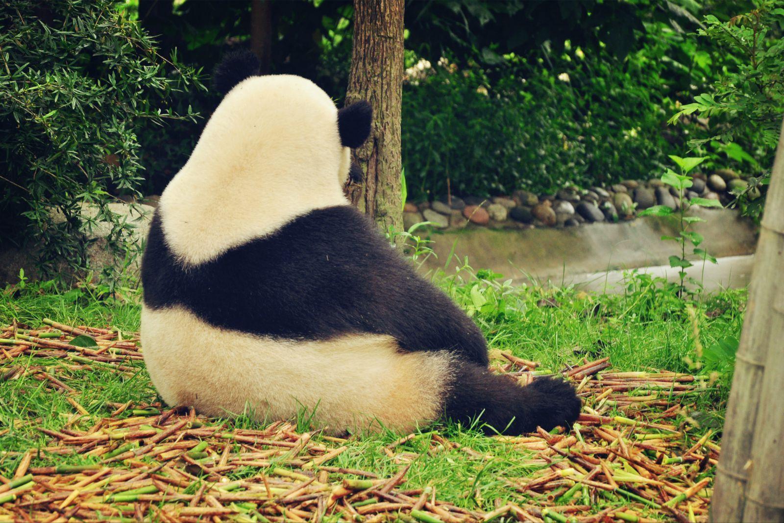 壁纸 大熊猫 动物 1600_1067