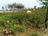 浦江玫瑰园