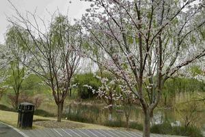 """【一写就""""惠""""】顾村公园樱花大赏"""