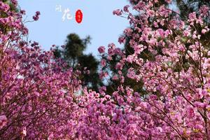【全民摄影季】青岛大珠山:杜康尚饮花间酒,鹃声未闻春满山