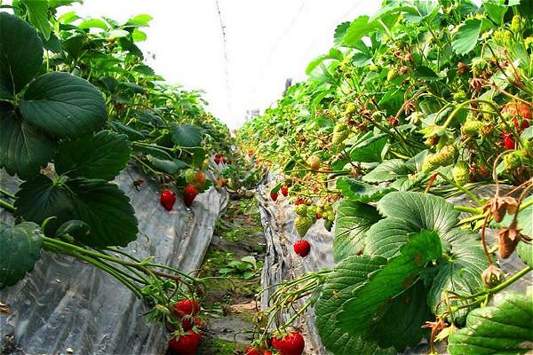 外优新葡萄品种百余种,主打品种有巨玫瑰,醉金香,夏黑,藤稔,维多利亚