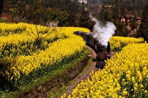 【生活仕】油菜花中的嘉阳小火车