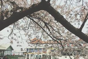【我是达人】不用去日本樱花天堂就在身边