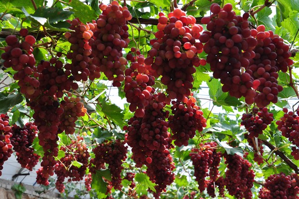 世葡园冰雪嘉年华多种葡萄采摘乐
