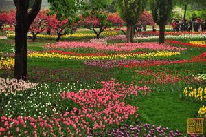【我是达人】实拍:北京植物园郁金香盛开