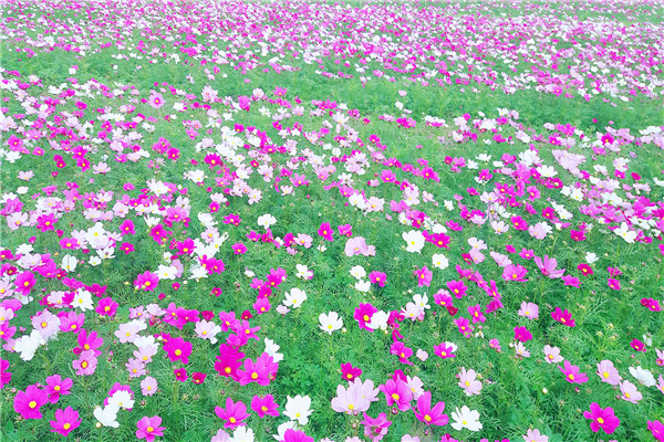 二龙山生态园广州二龙山花园西寨梯田花海