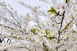 【微攻略】你知道樱花飘落的速度吗?无锡VS东京,秒速5厘米