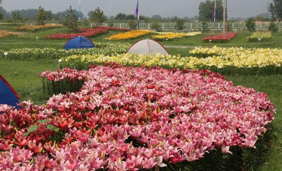 世界葡萄博览园绚丽多彩百合花