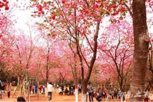 【我是达人】国内樱花最早盛开的地方