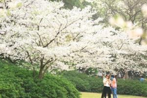 【我是达人】【西湖孤山】樱花盛开像云像雪像春风