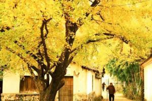 【我是达人】【浙江】长兴十里银杏最壮观的晚秋