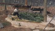 中国大熊猫保护研究中心都江堰基地(又名:都江堰熊猫乐园)