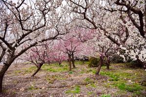 世纪公园赏梅