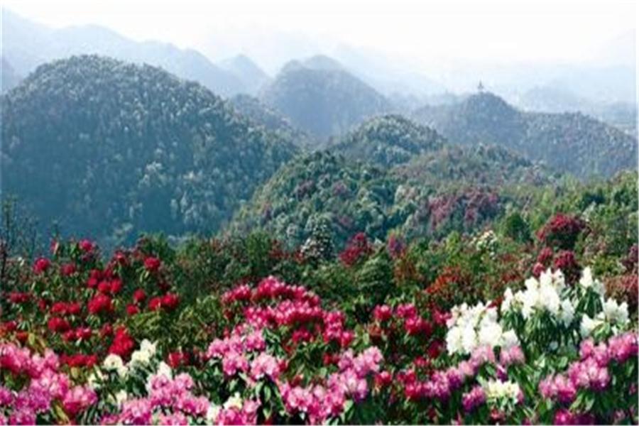 【毕节贵州百里攻略3日跟队自驾游】领航成都,苏州集结,全程杜鹃王国上海自助游杜鹃图片