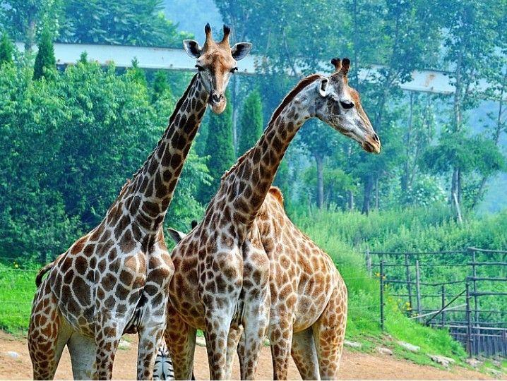 有50余种2000多只动物放养于此,人们可在车内,凭窗而望,感触动物世界图片