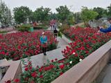 北京大兴月季主题园