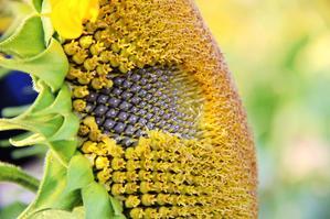 【旅行中的摄影师】向阳花开——游记金陵一二花开处