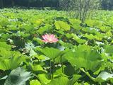 微山湖红荷湿地