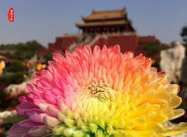 【我是达人】聆听古都风韵,看朵朵幸福菊点亮开封城