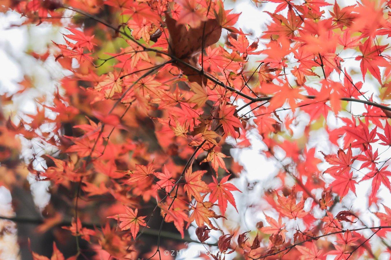 枫叶季,栖霞山上,待红叶飘落
