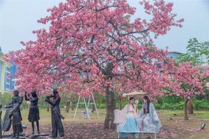 到百万葵园赴一场粉红秋樱之约