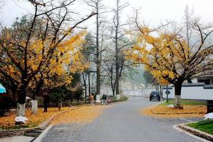 长兴方一村十里银杏长廊那最后一片黄叶