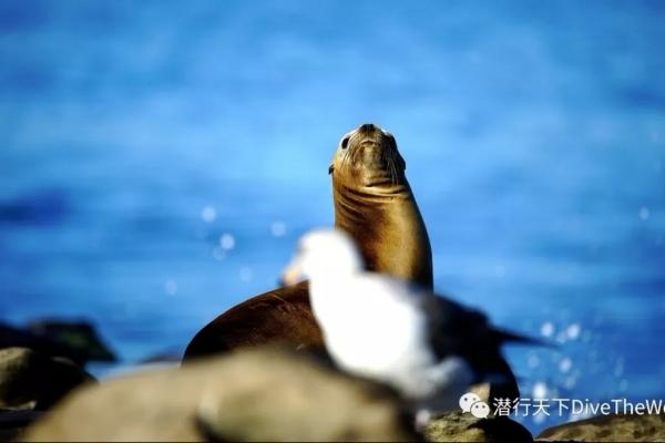 圣地亚哥附近的这个海滩,海狮比游客还多!?