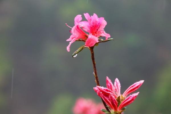 拥抱过云雾山的万亩杜鹃花海;才算没有辜负这最美春天