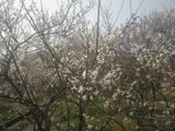 苏州光福景区(香雪海)