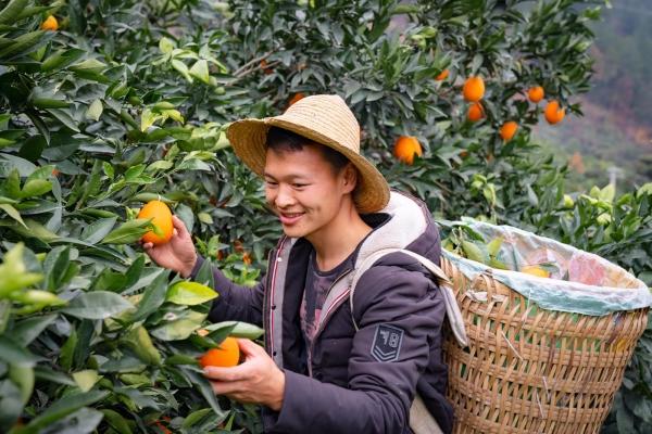 【新年輕度假】正是橙香四溢清甜甘冽時,正宗的重慶奉節臍橙,切莫錯過哦