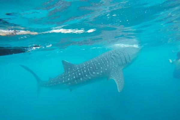 【新年轻度假】菲律宾杜马盖地看鲸鲨