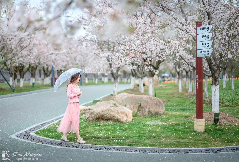 櫻花爛漫時,被大洋灣的春色所陶醉