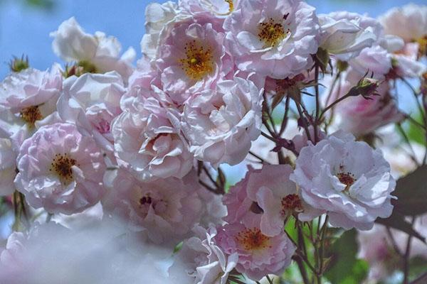 沂蒙最高峰,樱花盛开时