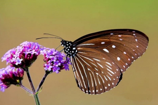 研学腾冲丨起舞的花花蝴蝶是腾冲高黎贡夏日里的翩翩精灵