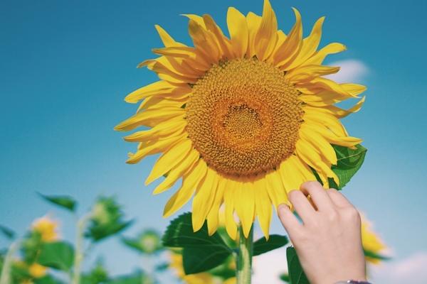 银川家门口赏花圣地,向日葵花海等你来打卡!