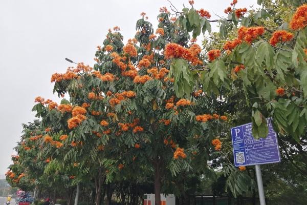 南宁这条路开满橙黄色的花,一丛丛像火焰一样,美得不像话!