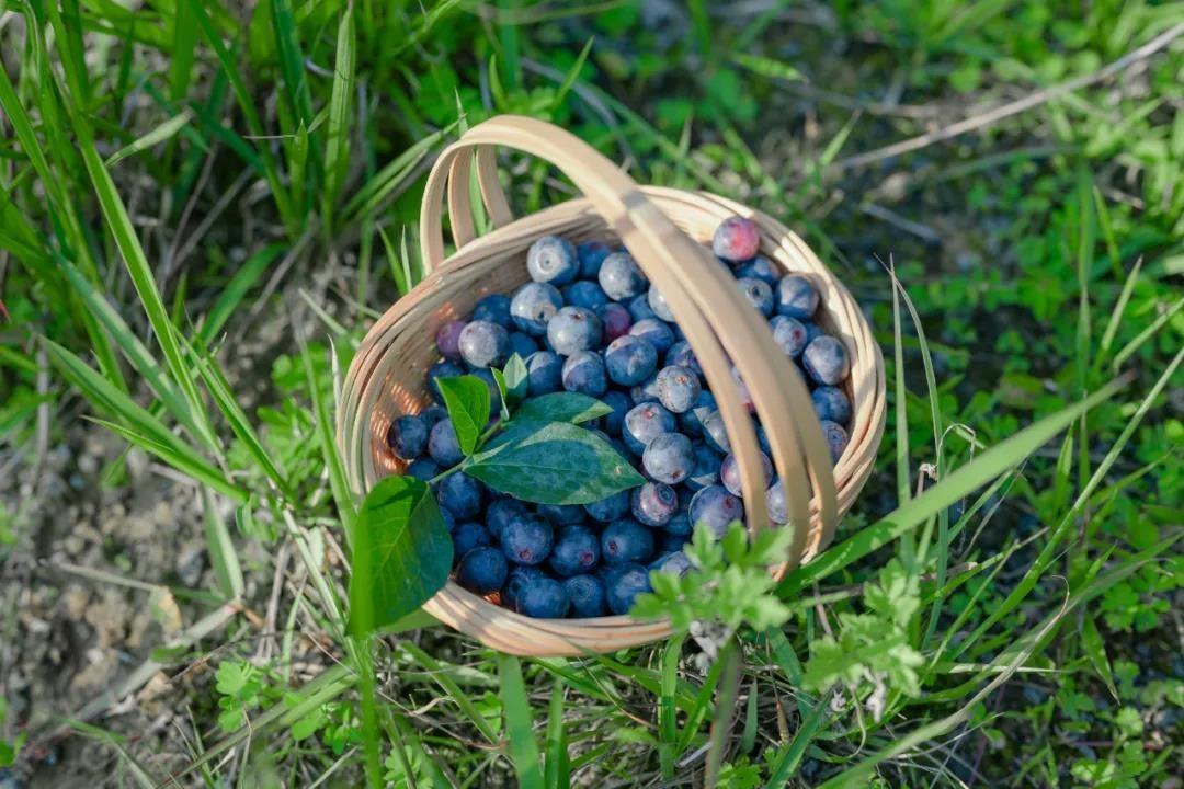 """攻略丨美味""""蓝""""不住!腾冲摘蓝莓、吃蓝莓的最全攻略!"""